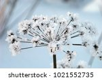 inflorescence in the snow ... | Shutterstock . vector #1021552735