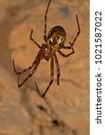 Small photo of Trochosa sp. (Lycosidae)