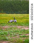 Small photo of Wild geese, beautiful goose. Barnacle geese, Branta leucopsis, fed in flood meadows near sea, nip cereals during autumn migration, spring migration