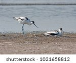 Small photo of two avocets russia