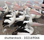 Australian Pelican  The...