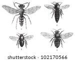 Bee   1. European Beewolf ...