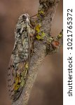 Small photo of Cicada orni (Cicadidae), beautiful cicada with ornamented wings