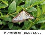 box tree moth  insecta | Shutterstock . vector #1021812772