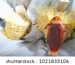 brown cockroaches are left on... | Shutterstock . vector #1021833106