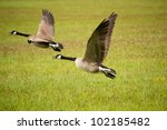 Geese Taking Off From Grass...