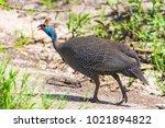 helmeted guineafowl. tarangire... | Shutterstock . vector #1021894822
