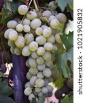 Small photo of Raceme grapes with ripe white berries and leaves