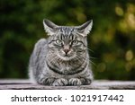 A Domestic Cat Is Laying On A...