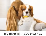 Stock photo close up of an adorable fluffy puppy cavalier king charles spanier in the hands of his female owner 1021918492