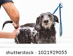 funny photo of dog with unhappy ... | Shutterstock . vector #1021929055