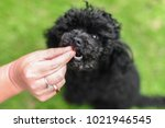 Black Poodle  Being Fed A Treat