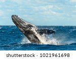 Beaching Humpback Whale. Sydne...