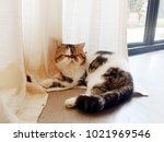 persian cats lying on curtain ... | Shutterstock . vector #1021969546