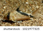 false bandit cory  or bandit... | Shutterstock . vector #1021977325