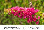 butterfly feeding on nectar... | Shutterstock . vector #1021996708