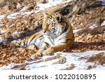 tiger in the snow | Shutterstock . vector #1022010895