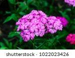pink phlox flower on a... | Shutterstock . vector #1022023426