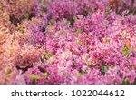 Field Of Pink Hyacinth Flowers