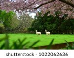 sakura cherry blossom and...   Shutterstock . vector #1022062636
