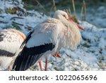 white stork in snow   Shutterstock . vector #1022065696