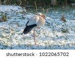 white stork in snow   Shutterstock . vector #1022065702