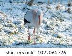 white stork in snow   Shutterstock . vector #1022065726