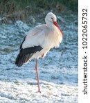 white stork in snow   Shutterstock . vector #1022065732
