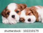 Stock photo two little puppies of a cavalier king charles spaniel one is sleeping 102210175