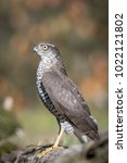 Small photo of The Eurasian Sparrowhawk, accipiter nisus sitting on the branch in beuatiful colorful autumn environment. Pretty colorful contrasting backround with nice bokeh.