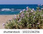 Wild Flowers  Matthiola Sinuat...