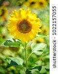 flower  wallpaper  garden ...   Shutterstock . vector #1022157055