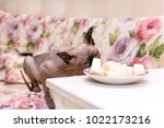 cat of breed the canadian... | Shutterstock . vector #1022173216