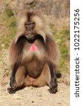 gelada baboon in simien... | Shutterstock . vector #1022175256