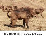 gelada baboon in simien... | Shutterstock . vector #1022175292