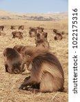 gelada baboon in simien... | Shutterstock . vector #1022175316