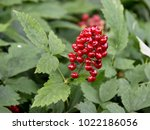 Small photo of The poisonous red berry from baneberry plant Actaea rubra in a forest