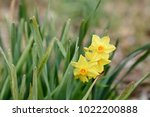 yellow narcissus flower | Shutterstock . vector #1022200888