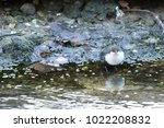 white throated dipper standing... | Shutterstock . vector #1022208832
