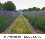 lavender field in a role with... | Shutterstock . vector #1022212702