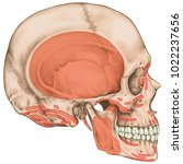 origins and insertions of the... | Shutterstock . vector #1022237656