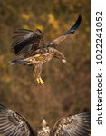 Small photo of White-tailed eagles have always a reason to fight