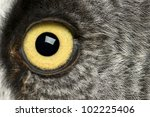 Portrait Of Great Grey Owl Or...