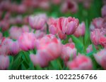colorful tulips with beautiful... | Shutterstock . vector #1022256766