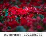 beautiful  azalea bush blossom... | Shutterstock . vector #1022256772