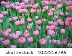 colorful tulips with beautiful... | Shutterstock . vector #1022256796