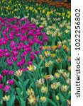 colorful tulips with beautiful... | Shutterstock . vector #1022256802