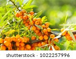 branch of sea buckthorn in a... | Shutterstock . vector #1022257996