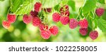 Branch Of Ripe Raspberries In A ...