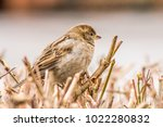 male or female house sparrow or ... | Shutterstock . vector #1022280832